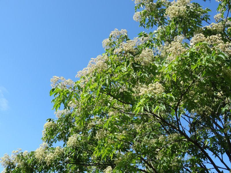 Tausendblütenbaum, Euodia hupehensis gibt es hier günstig in unserem ...