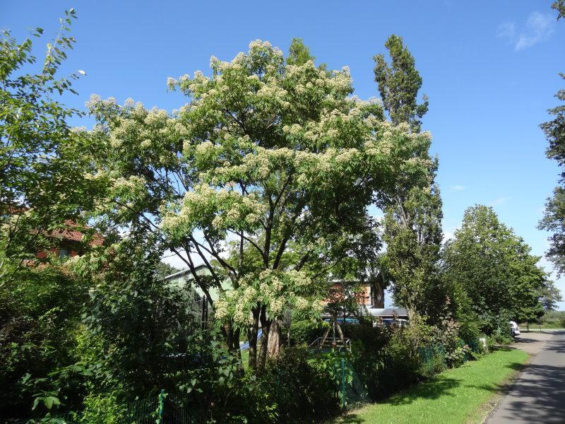 Tausendbl tenbaum euodia hupehensis gibt es hier g nstig - Lebkuchenbaum kaufen ...