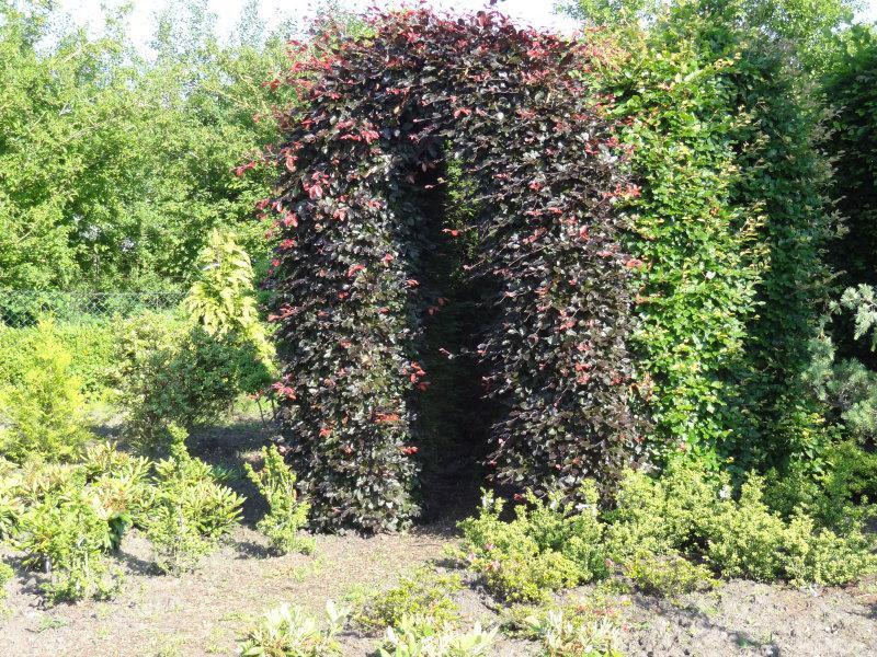 s mlings blutbuche fagus sylvatica purpurea im pflanzenhandel online kaufen. Black Bedroom Furniture Sets. Home Design Ideas