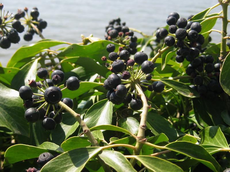 Strauchefeu Hedera Helix Arborescens Im Pflanzenhandel Eggert