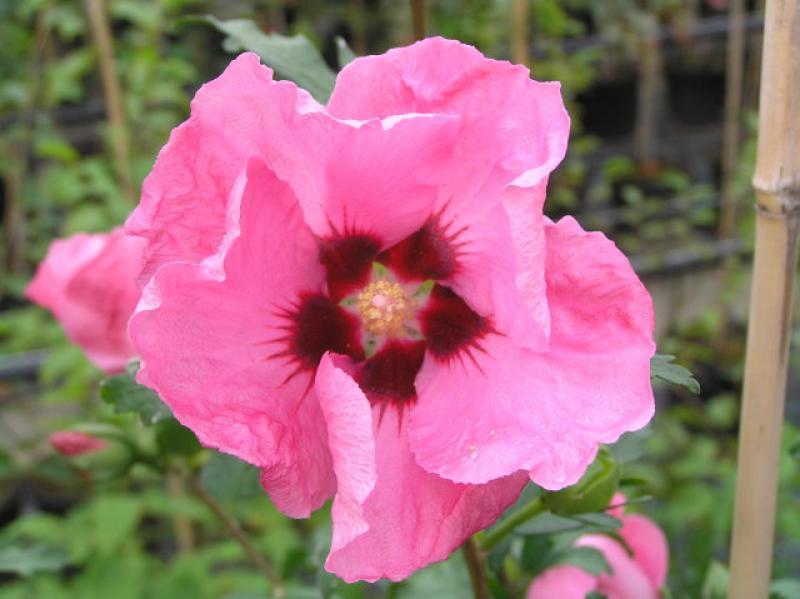 hibiskus aphrodite hibiscus aphrodite direkt vom pflanzenversand der markenbaumschule bestellen. Black Bedroom Furniture Sets. Home Design Ideas