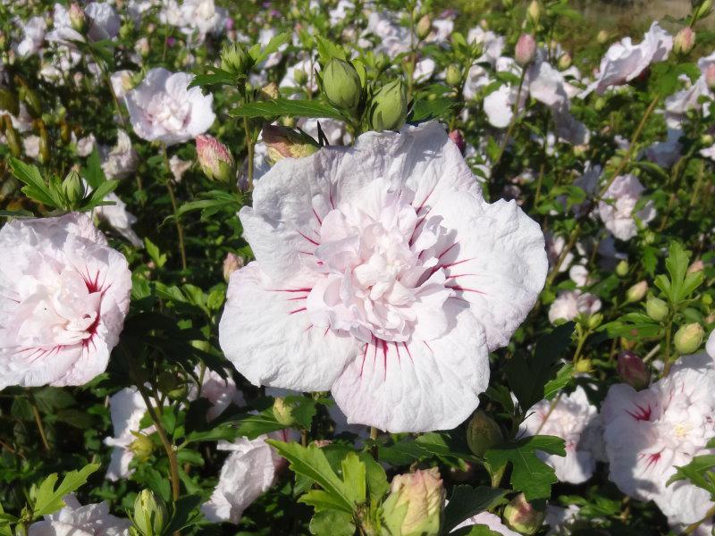 hibiskus china chiffon hibiscus china chiffon direkt vom pflanzenversand der markenbaumschule. Black Bedroom Furniture Sets. Home Design Ideas