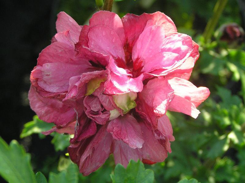 hibiskus duc de brabant hibiscus duc de brabant gibt es. Black Bedroom Furniture Sets. Home Design Ideas