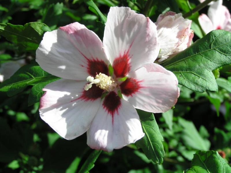 hibiskus hamabo hibiscus hamabo direkt vom pflanzenversand der markenbaumschule bestellen. Black Bedroom Furniture Sets. Home Design Ideas
