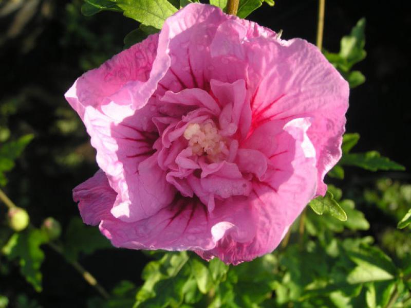 hibiskus lavender chiffon hibiscus lavender chiffon im pflanzenhandel online kaufen. Black Bedroom Furniture Sets. Home Design Ideas