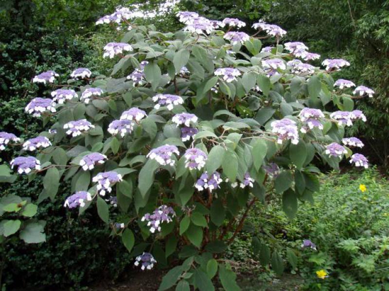 samthortensie hydrangea aspera macrophylla direkt von der. Black Bedroom Furniture Sets. Home Design Ideas
