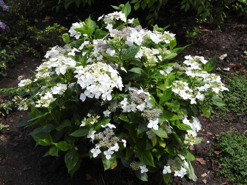 bauernhortensie lanarth white hydrangea macrophylla. Black Bedroom Furniture Sets. Home Design Ideas