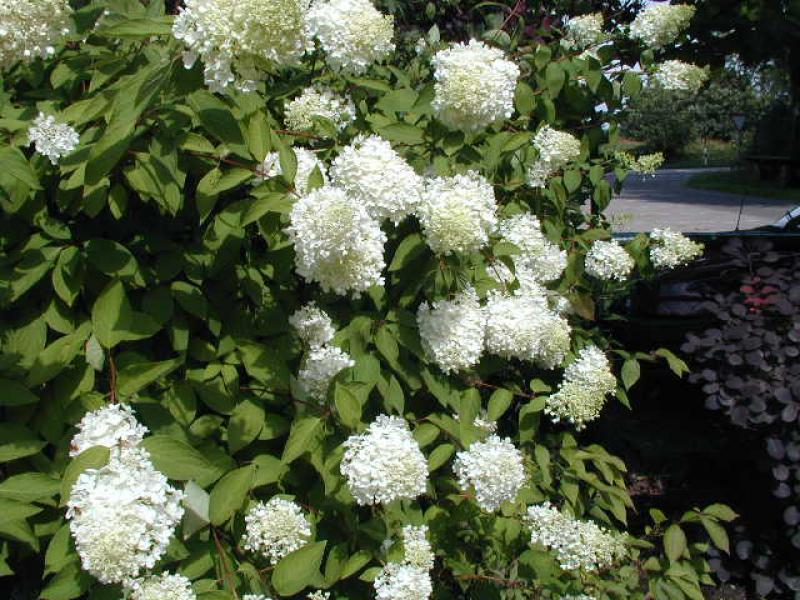 rispenhortensie hydrangea paniculata grandiflora im. Black Bedroom Furniture Sets. Home Design Ideas