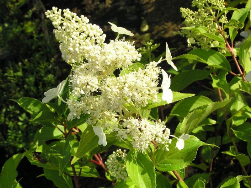 rispenhortensie kyushu hydrangea paniculata kyushu in. Black Bedroom Furniture Sets. Home Design Ideas
