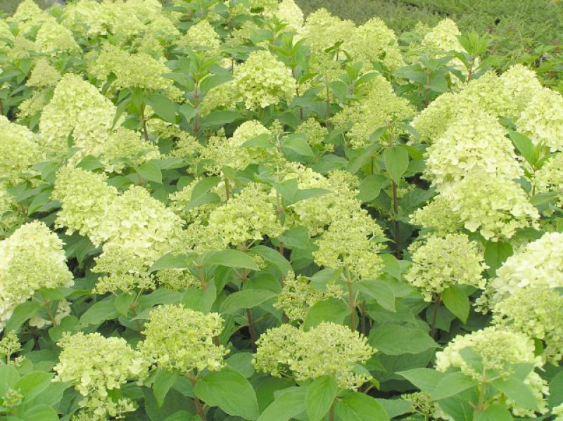 rispenhortensie limelight hydrangea paniculata limelight im pflanzenhandel online kaufen. Black Bedroom Furniture Sets. Home Design Ideas