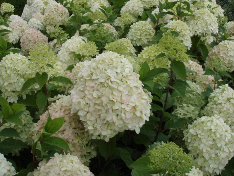 rispenhortensie limelight hydrangea paniculata limelight im pflanzenhandel online kaufen. Black Bedroom Furniture Sets. Home Design Ideas