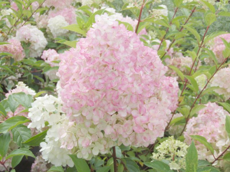 rispenhortensie vanille fraise hydrangea paniculata. Black Bedroom Furniture Sets. Home Design Ideas