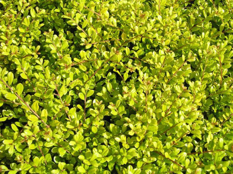 gelber bergilex ilex crenata golden gem direkt vom pflanzenversand der markenbaumschule bestellen. Black Bedroom Furniture Sets. Home Design Ideas