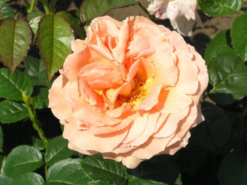 englische rose charles austin gibt es hier g nstig in. Black Bedroom Furniture Sets. Home Design Ideas