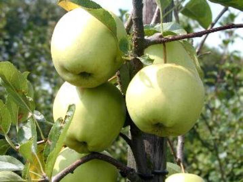 apfel golden delicious gewicht