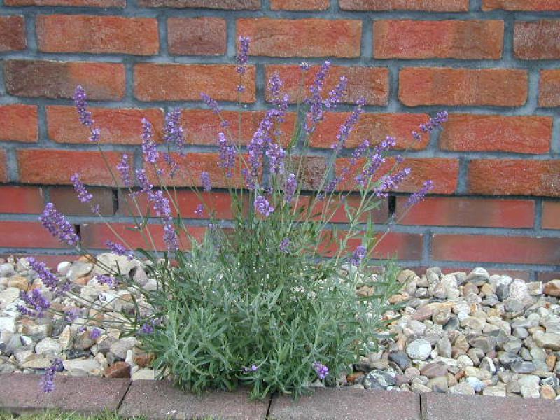 echter lavendel lavandula angustifolia im pflanzenhandel online kaufen. Black Bedroom Furniture Sets. Home Design Ideas