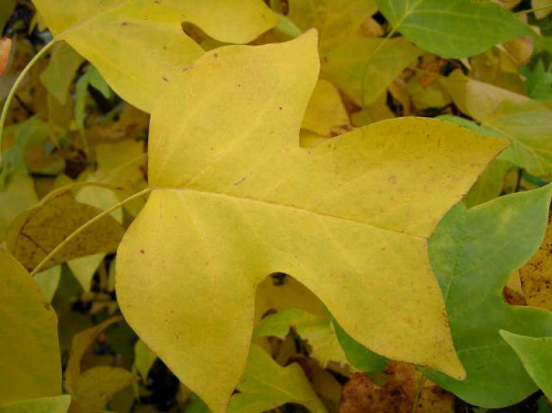 Tulpenbaum, Liriodendron tulipifera gu00fcnstig im Online-Shop ...