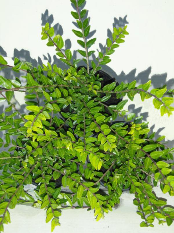 kaufen sie b schungsmyrthe moss green bot lonicera pileata mossgreen bequem in unserem shop. Black Bedroom Furniture Sets. Home Design Ideas