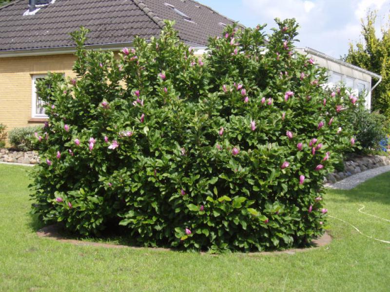 purpur magnolie magnolia liliiflora nigra direkt von der. Black Bedroom Furniture Sets. Home Design Ideas