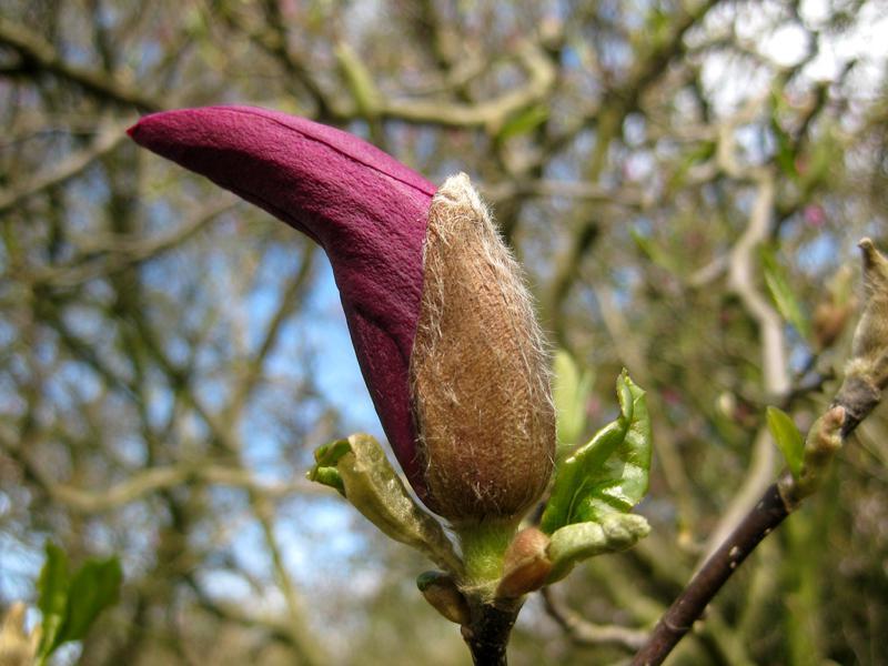 purpur magnolie susan magnolia liliiflora susan im pflanzenhandel online kaufen. Black Bedroom Furniture Sets. Home Design Ideas