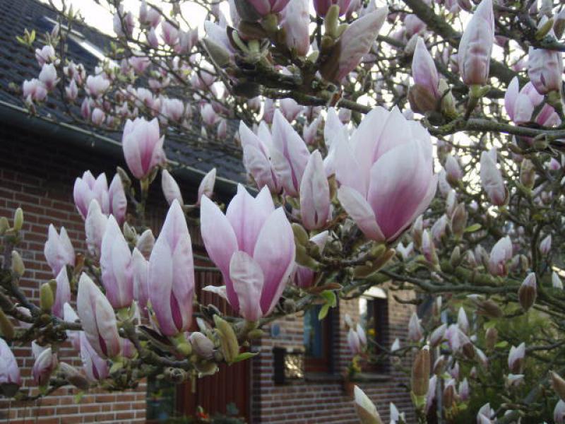 tulpenmagnolie magnolia soulangiana im pflanzenhandel. Black Bedroom Furniture Sets. Home Design Ideas