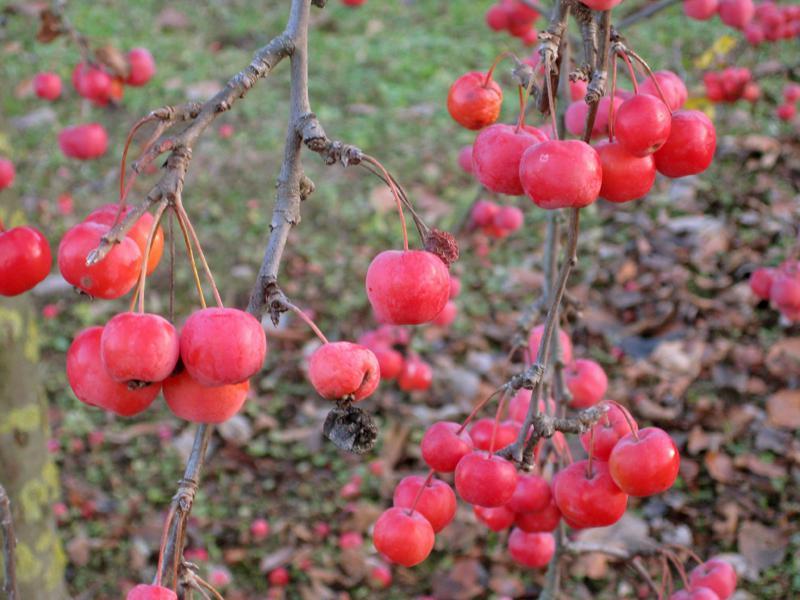 bestäuber finkenwerder prinzenapfel