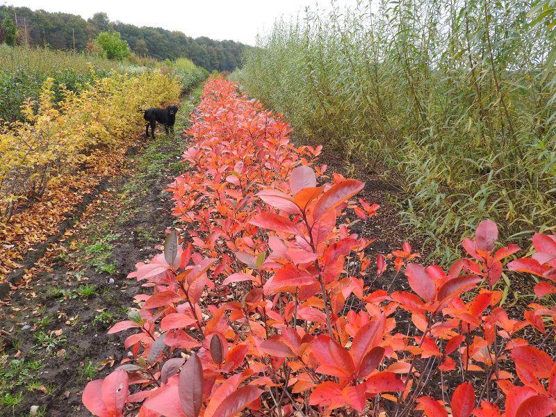 Schwarze Apfelbeere Aronia Melanocarpa Im Pflanzenhandel Online Kaufen