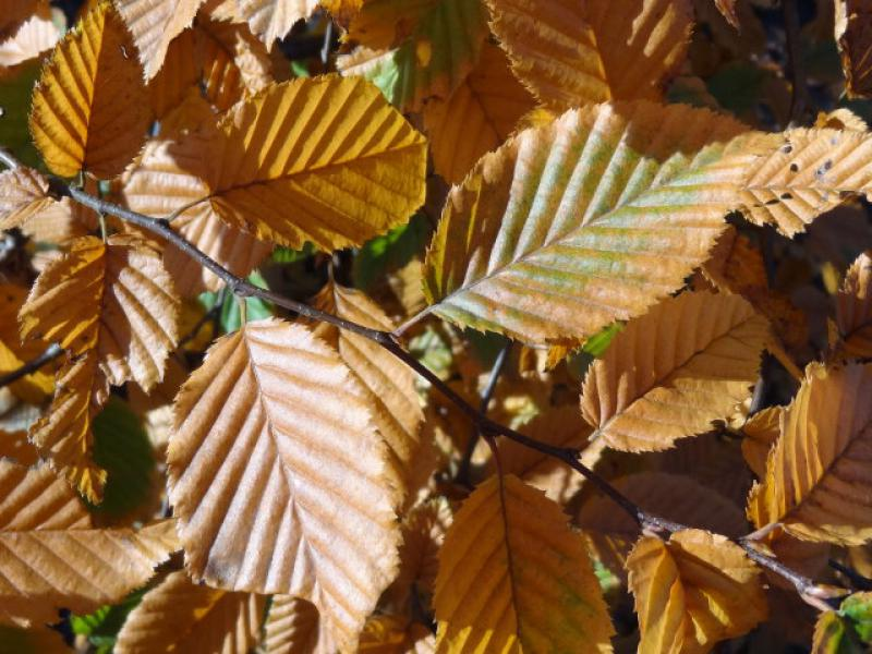 hainbuchen carpinus betulus heckenpflanzen kaufen in der baumschule eggert. Black Bedroom Furniture Sets. Home Design Ideas
