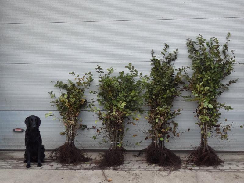 hainbuchen carpinus betulus heckenpflanzen kaufen in. Black Bedroom Furniture Sets. Home Design Ideas