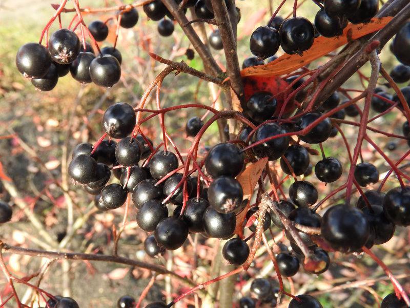 grüne erde huckleberry