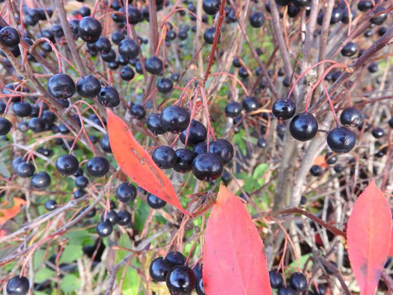 Aronie Hugin Aronia Melanocarpa Hugin Im Pflanzenhandel Online Kaufen