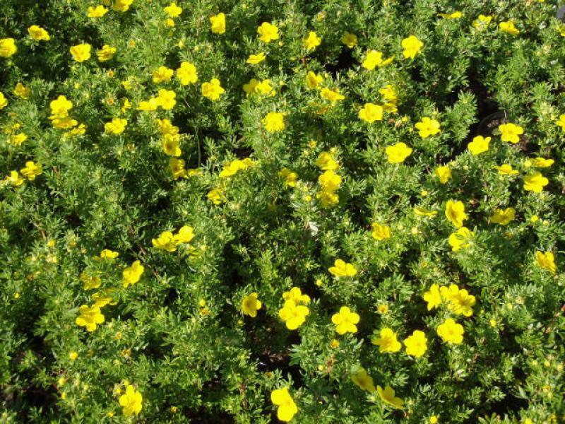 Eggert Blütensträucher Baumschulen Heckenpflanzen Potentilla
