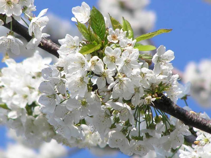 Baumschulen, Heckenpflanzen - Prunus avium - Vogelkirsche Prunus avium ...