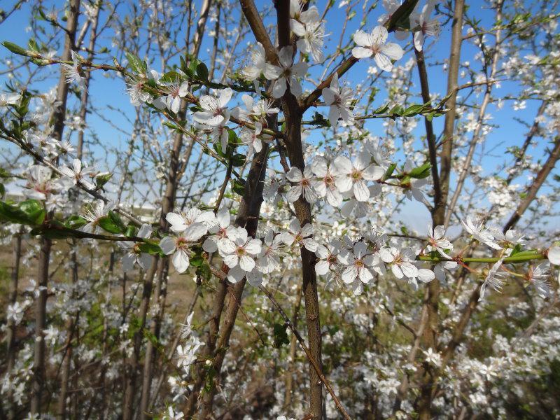 Wildpflaume Wilde Mirabelle Prunus Cerasifera Gibt Es Hier Gunstig