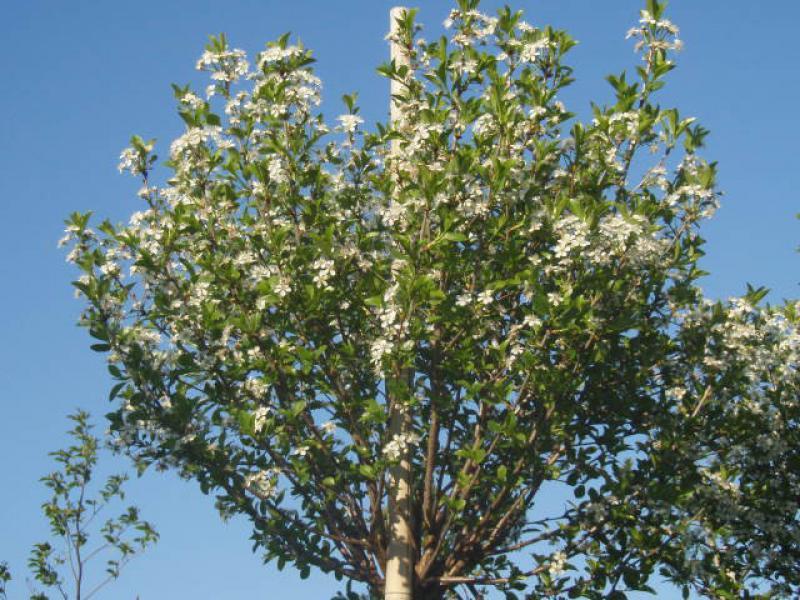 kugel kirsche steppenkirsche prunus fruticosa globosa. Black Bedroom Furniture Sets. Home Design Ideas