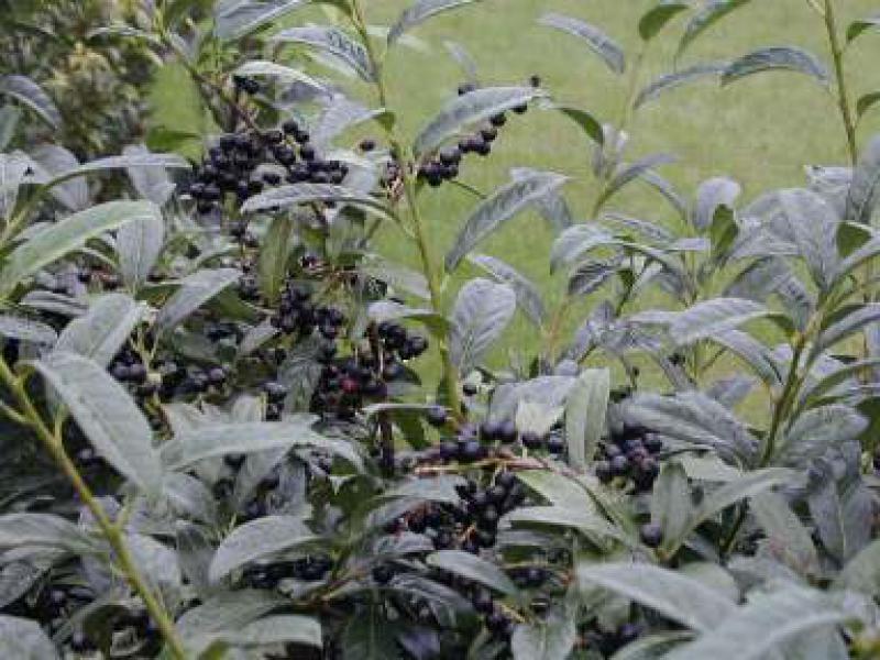 kirschlorbeer macrophylla schipkaensis macrophylla bei. Black Bedroom Furniture Sets. Home Design Ideas