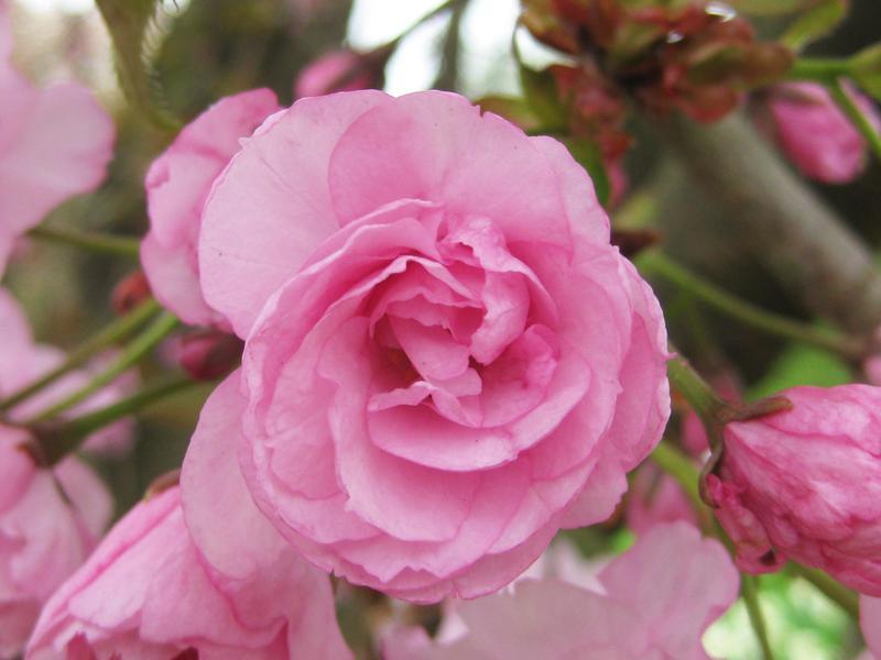 Japanische Nelkenkirsche Prunus Serrulata Kanzan Im Online Shop