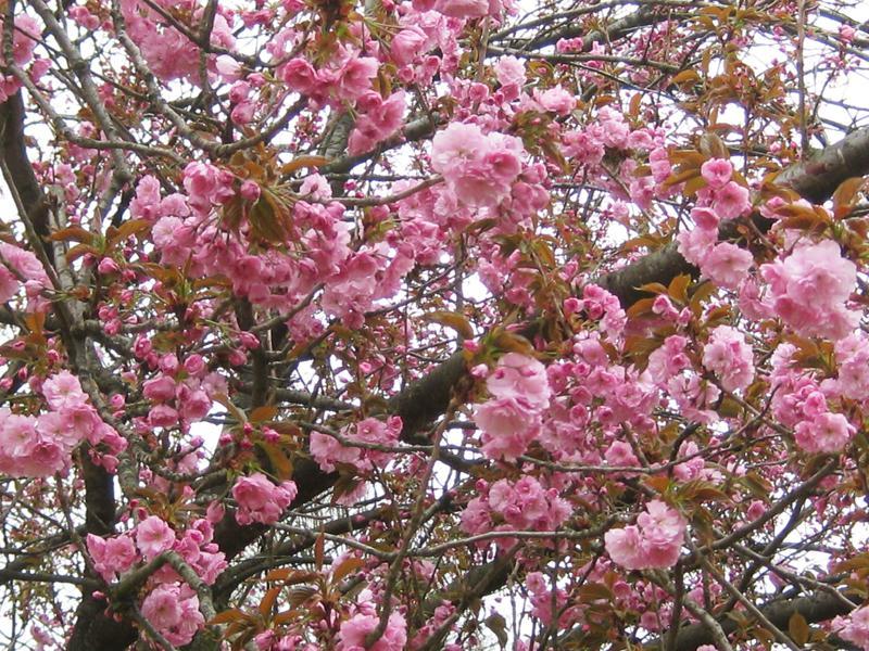 bäume nicht zu groß mit blüten