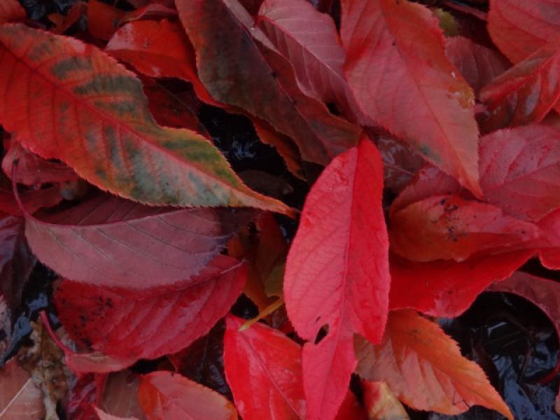 Blut Nelkenkirsche Prunus Serrulata Royal Burgundy Direkt Von Der