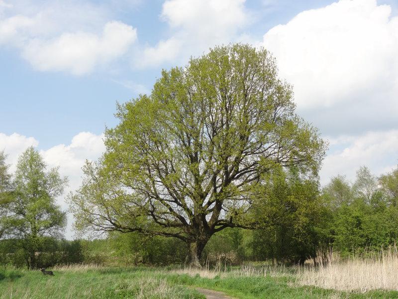 Stiel Oder Deutsche Eiche Quercus Robur In Unserem Online Shop