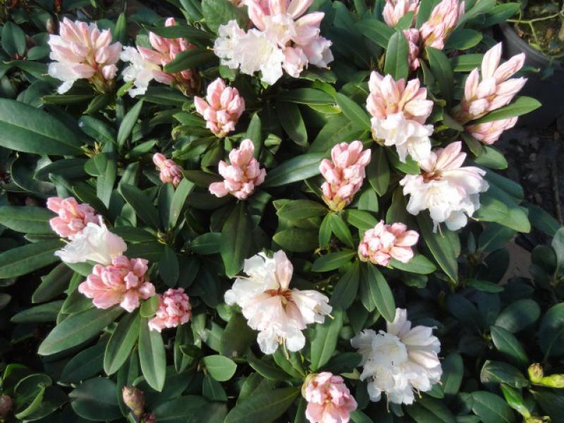 alpenrose jacksonii rhododendron hybr jacksonii direkt. Black Bedroom Furniture Sets. Home Design Ideas