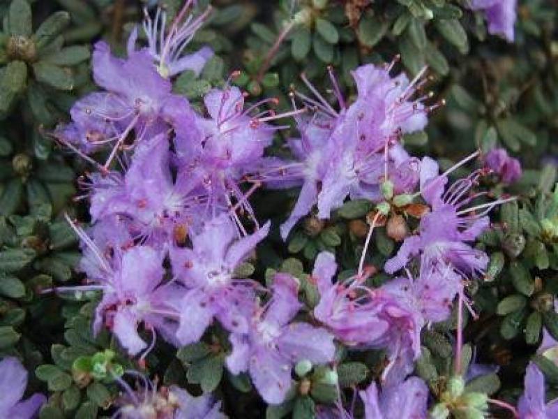 zwerg alpenrose rhododendron impeditum in unserem online. Black Bedroom Furniture Sets. Home Design Ideas