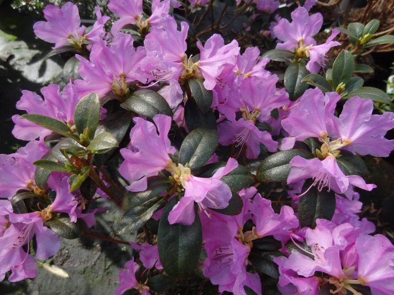 vorfr hlings alpenrose rhododendron praecox gibt es hier. Black Bedroom Furniture Sets. Home Design Ideas