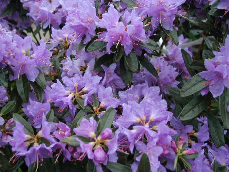 alpenrose azurwolke rhododendron russatum azurwolke. Black Bedroom Furniture Sets. Home Design Ideas