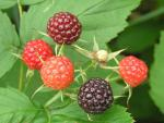 Rubus occidentalis - Schwarze Himbeere