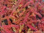 Berberis thunbergii Green Carpet