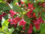 Weigela Hybride Red Prince