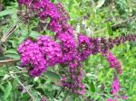 Buddleja Nanho Purple - Syrenbuddleja, Fjärilsbuske Nanho Purple