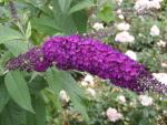 Buddleja Royal Red - Sommerflieder Royal Red
