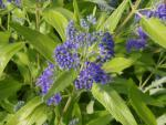 Caryopteris clandonensis Worcester Gold - Gold-Bartblume